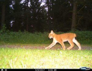 Wildkatzenfotos Luchs Nordharz