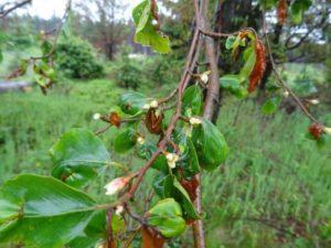 Buchen und Heidelbeersträucher im Harz wieder grün