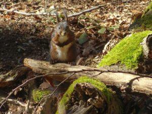 eichhörnchen im eckertal bauling